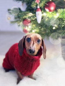 Sad-faced dog wearing Christmas sweater sitting by a Christmas tree.